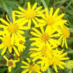 Eine giftige Pflanze: Das Jakobskreuzblatt